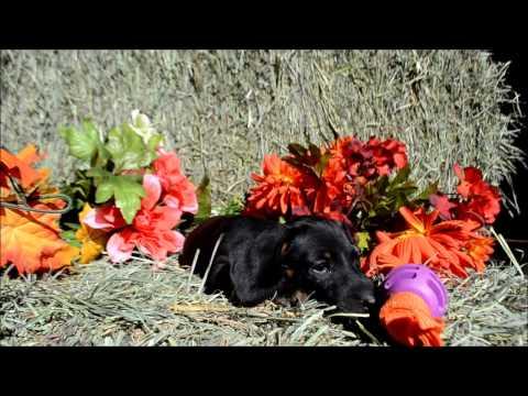 Diego Male Black Tan Miniature Dachshund Puppy for sale