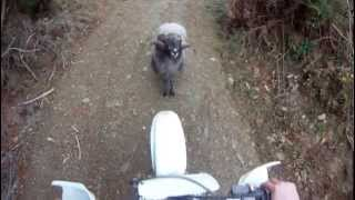Mountain Ram Attacks Motorcyclist