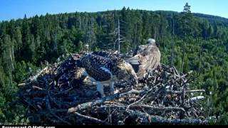www.looduskalender.ee kalakotkas2.