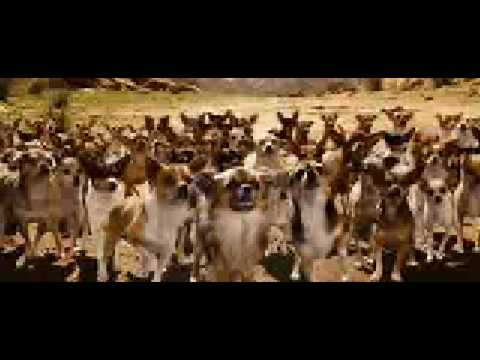 chihuahua show