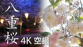 【絶景茨城】八重桜[4K]茨城県那珂市|VISIT IBARAKI, JAPAN