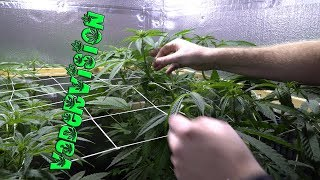 2018 Cali Legal Grow * Day 100 *  Daily Training by VaderVision
