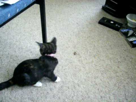 Kitten Vs. Cockroach.