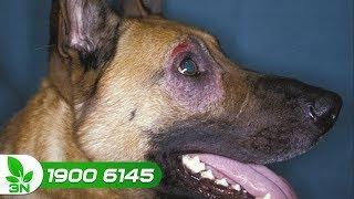 Chăn nuôi chó | Cách chữa bệnh viêm mắt, viêm đường hô hấp ở chó