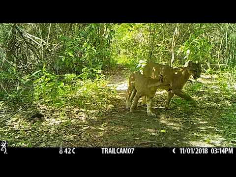 Puma (Pathera concolor) with her cub