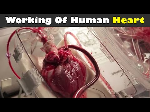 Working Of Human Heart (Urdu/Hindi)