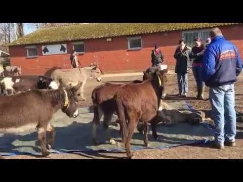 眼見同伴死掉 驢子們竟然紛紛做出驚人舉動 嚇死人啦!!