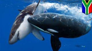 Video Hiu putih diburu oleh paus pembunuh - Tomonews MP3, 3GP, MP4, WEBM, AVI, FLV September 2018