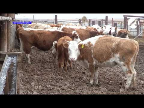 В астраханской области от нодулярного дерматита привито свыше 26 тыс. голов скота