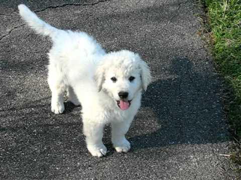 Kuvasz Puppies Price Adorable KUVASZ puppie...