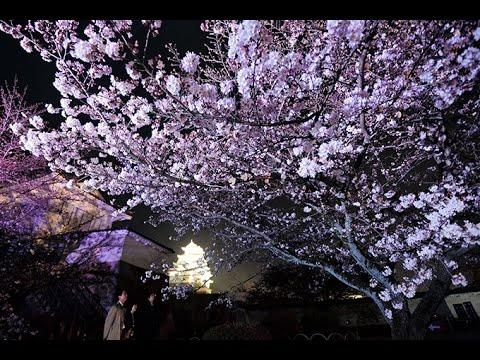 姫路城の夜桜 試験点灯