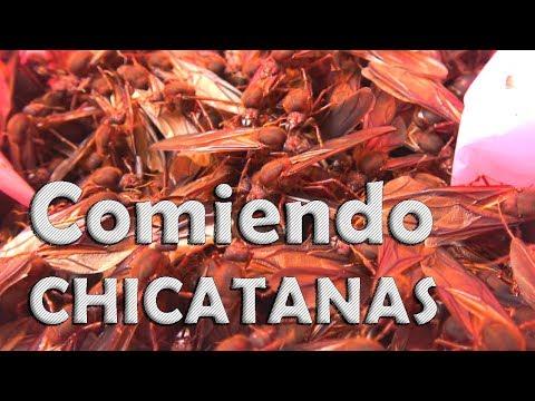 Temporada de Chicatanas en Oaxaca - Hormigas platillo exótico.