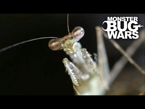 House Centipede Vs Swift Tree Mantis | MONSTER BUG WARS
