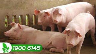 Lợn bị viêm ruột do E.coli ghép với hồng lị chữa kiểu gì?