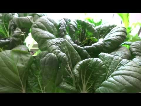 Beginner Hydroponic Kratky Method - Pak Choi 06 Final Update