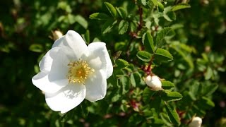 The Wee White Rose