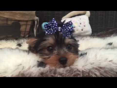 Handsome, lovable little Yorkie puppy