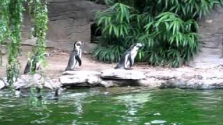 Пингвины ловят бабочку