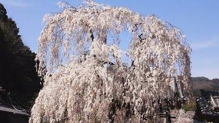 【奈良県】これからが見もの桜が素敵大野寺!