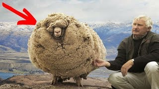 This sheep escaped For 6 Years when he returned Everyone was amazed by Did You Know Animals?