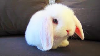 These rabbits are the cutest thing you will see today. Subscribe http://bit.ly/FunnyPetMedia for weekly videos! Head over heels...