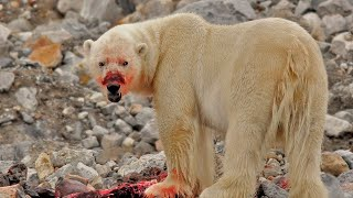 Video 11 Reasons Why You NEVER Want to Encounter a Polar Bear! MP3, 3GP, MP4, WEBM, AVI, FLV Agustus 2019