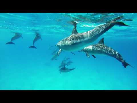 Dolphins at Samadai Reef, Red Sea