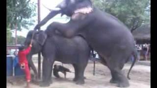 Elephant Mating 4
