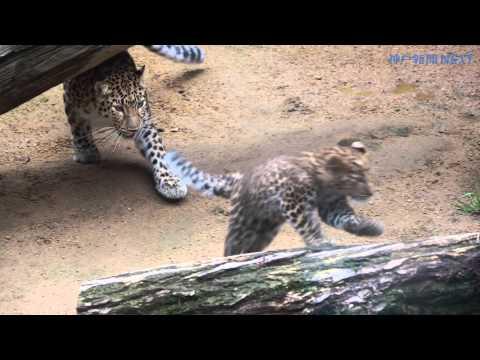 王子動物園で19年ぶり、アムールヒョウの赤ちゃん