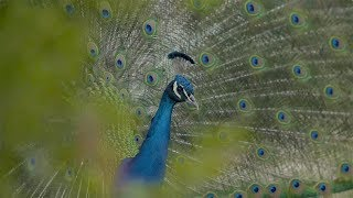 Peacock trying to impress a chick(en) is priceless