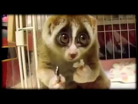 Cute and lovely Lemurs - Great Compilation