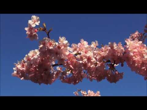 Japán cseresznyevirágzás 2017