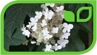 Eichenblättrige Hortensie als Schatten-Balkonpflanze (Hydrangea quercifolia)