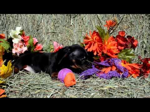 Darla Female Black Tan Miniature Dachshund Puppy for sale