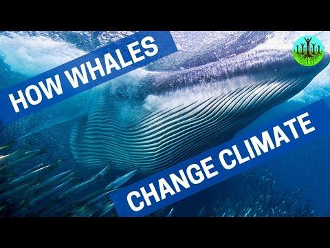 Hoe walvissen het klimaat veranderen