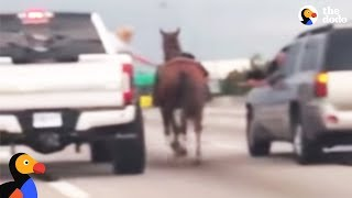Horse Lost On Highway Saved by Kind Drivers   The Dodo by The Dodo
