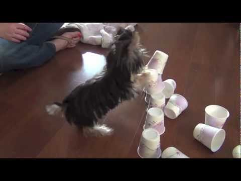 minnie - Misa Minnie is a 23 week old Yorkie puppy in this video that loves treats, training, and California sunshine. :) this week we learned how to stack paws, push...