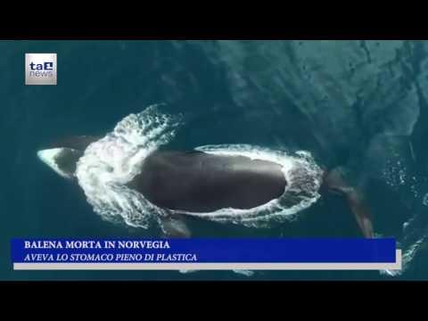 BALENA MORTA IN NORVEGIA, AVEVA LO STOMACO PIENO DI PLASTICA