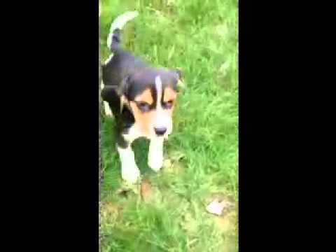 AKC Registered Purbred Beagle Puppy