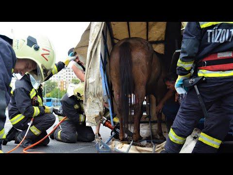 Tűzoltók mentették ki a lovat a felborult lószállítóból