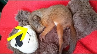 Baby Squirrel Who Misses His Family Gets A Teddy Bear
