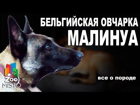 Бельгийская овчарка Малинуа - Все о породе собаки