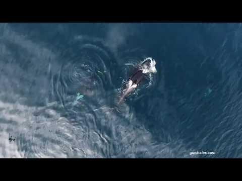 Fascinerende dronebeelden: orka's vangen haai en eten hem op