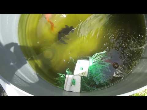 金魚すくいで取った出目金の産卵