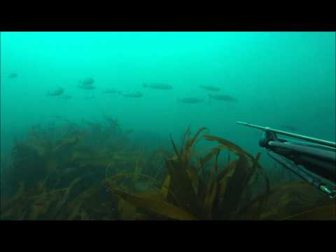 Video: Spearfishing in Cornwall