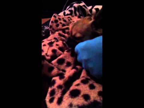 Chihuahua giving birth