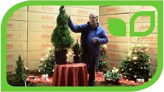 Die Zuckerhutfichte - Picea glauca conica