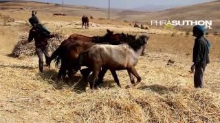 Threshing Teff By Horses. Ethiopia 2014