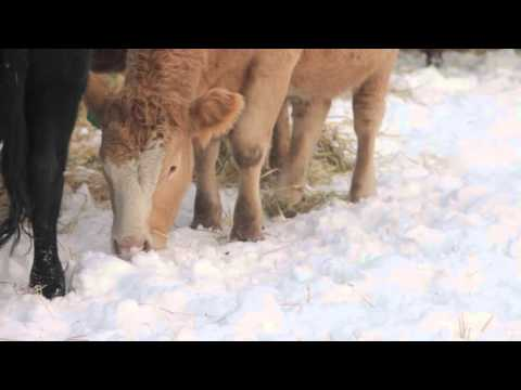 Winter watering for cattle