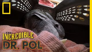 A Giant Rabbit Has An Ear Issue | The Incredible Dr. Pol by Nat Geo WILD